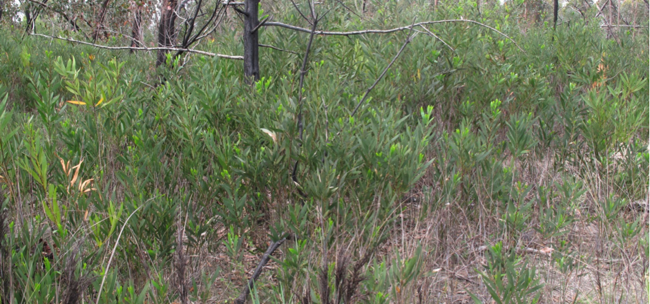Sallow wattle seedlings post-fire Grampians National Park November 2014 (not all of these plants are sallow wattle seedlings).