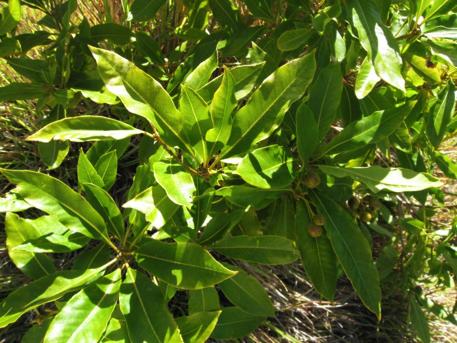 Sweet Pittosporum (Pittosporum undulatum), a weedy species in the Dandenong Ranges National Park